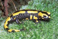 Саламандры поражены зелеными водорослями