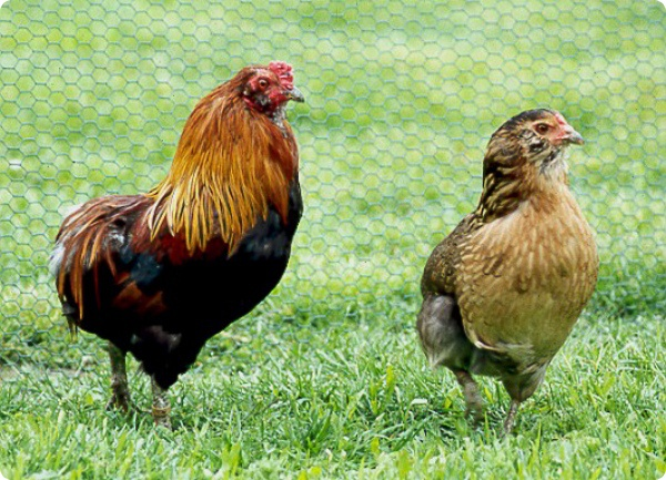 Эта курица снесёт к пасхе зеленые яйца