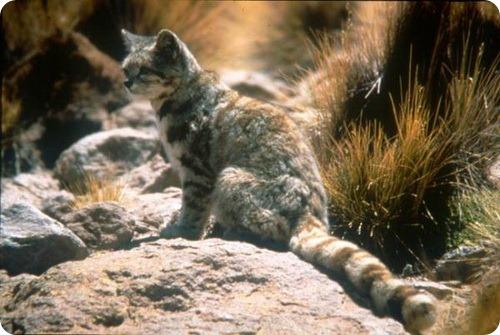 Андские кошки