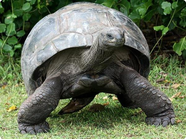 Сейшельские черепахи спасли хурму