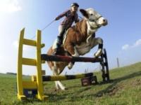 Вместо лошади — корова!