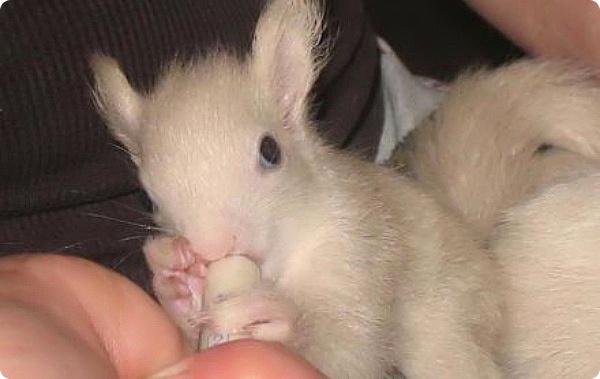 Спасены три бельчонка-альбиноса