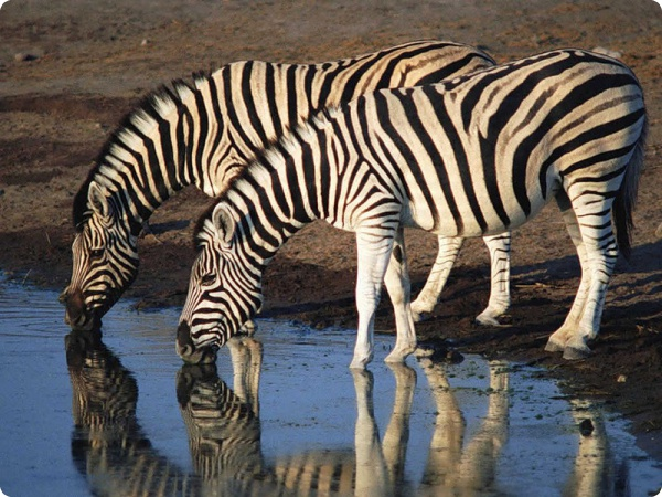 Штрих-код у зебр