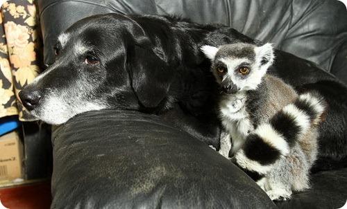 Пес и лемур