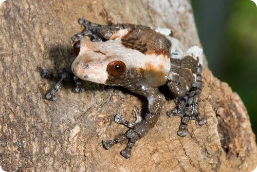 Шероховатый веслоног или лягушка-птичий помет