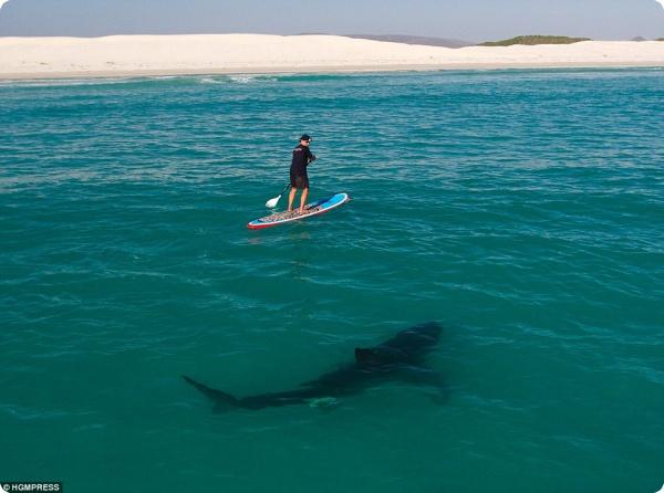 Насколько опасны белые акулы?