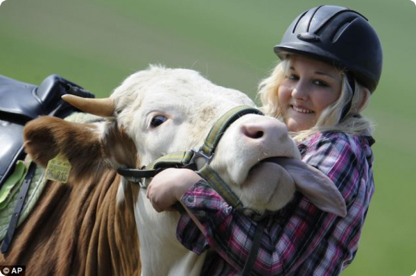 Вместо лошади - корова!