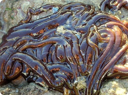 Ленточный червь - Lineus longissimus