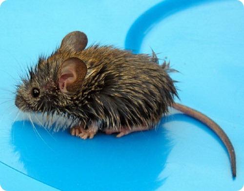 Недавно открытая в Перу мышь