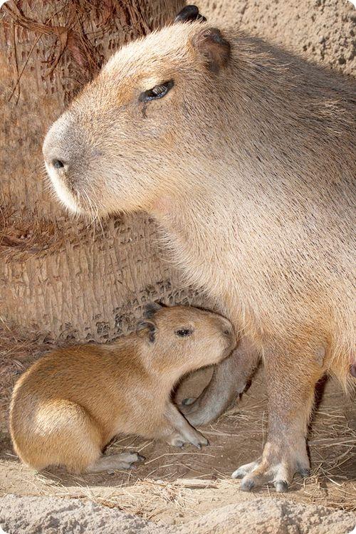Крупнейший грызун в мире родился в Сан-Диего