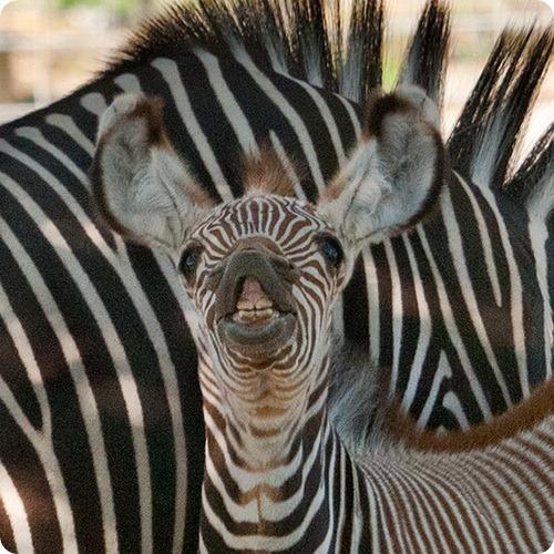 Это детеныш зебры Греви