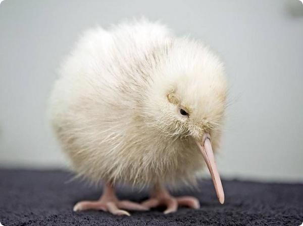 В Новой Зеландии вылупился белый цыпленок киви