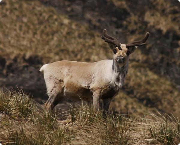 Глаза северных оленей защищены от ультрафиолета