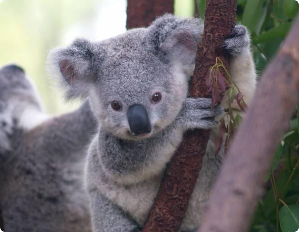Разгадана тайна отпечатков пальцев у коал