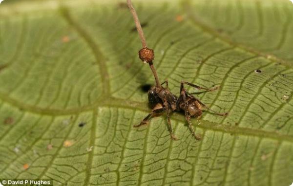 Зомбированные муравьи!