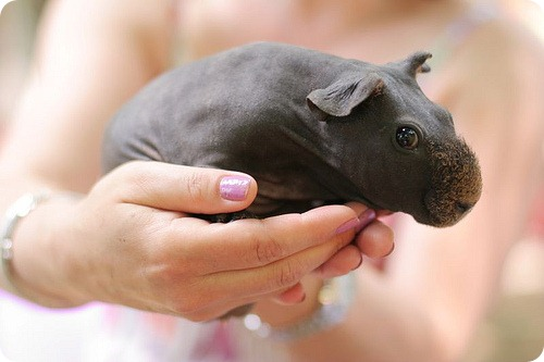 Скинни (Skinny Pig)