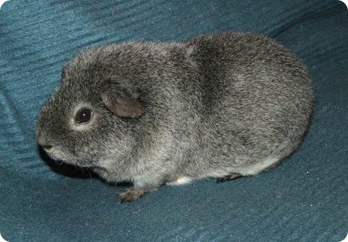 Тедди (Teddy Guinea Pig)
