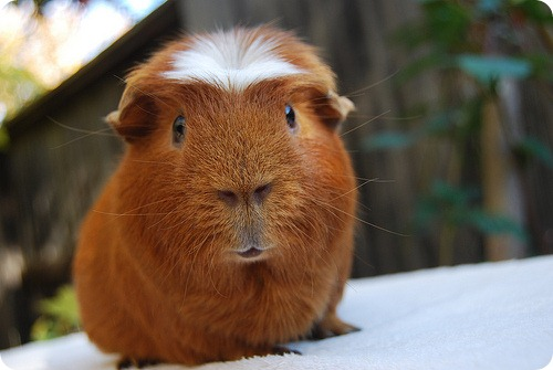 Белый крестед (White-crested Guinea Pig)