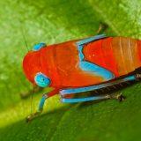 Красно-синие цикадки
