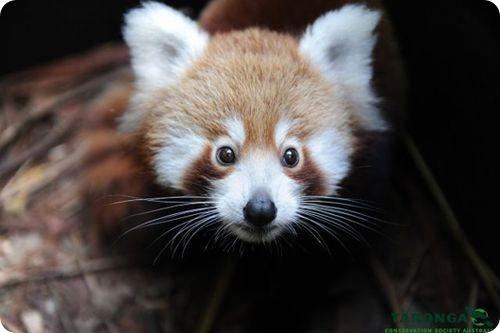 Детеныш красной панды познает мир