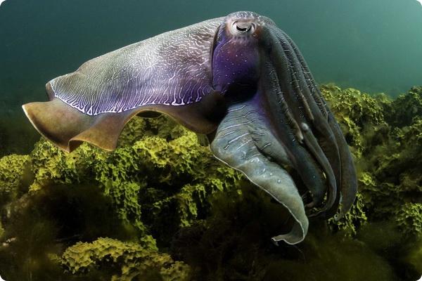 Каракатицы - мастера маскировки