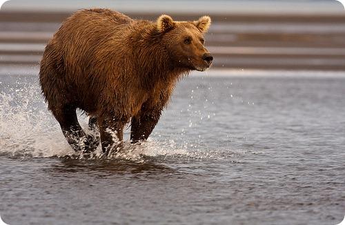 Медведь-инноватор построил шалаш вместо берлоги