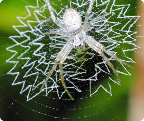 Пауки украшают паутину, чтобы сделать ее заметной