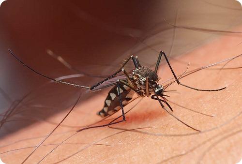 10 интересных фактов о комарах
