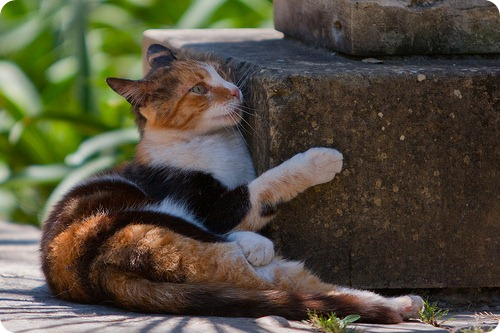 Кошки Мальты