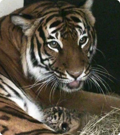 Очаровательное трио малайских тигрят