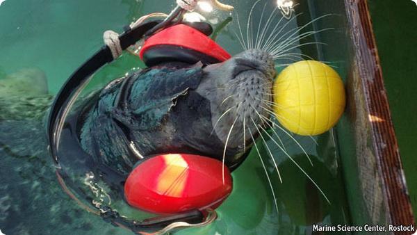 Тюленьи усы