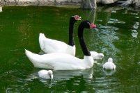Птенцы черношейного лебедя