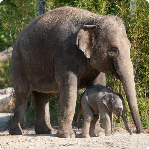 Еще один слоненок в зоопарке Мюнхена