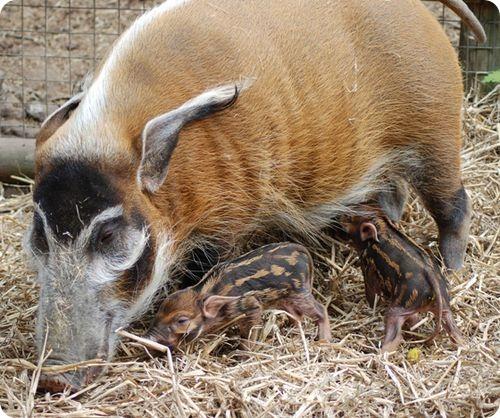 В семействе кистеухих свиней пополнение