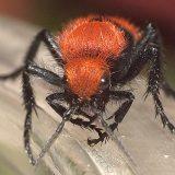 Красные бархатные муравьи