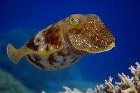 Каракатицы — мастера маскировки