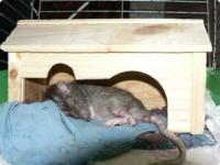 Что видят во сне крысы