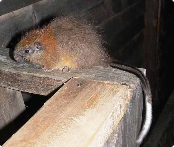 «Воскрешение» красногривой древесной крысы