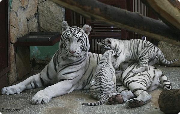 Екатеринбургским бенгальским тигрятам - 2 месяца.