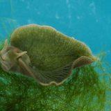 Морской слизень Elysia chlorotica