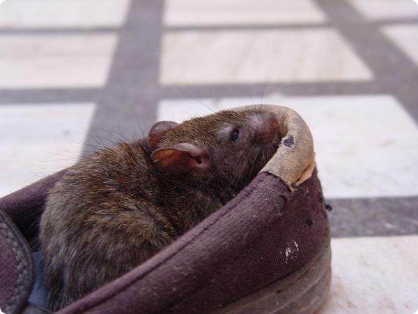 Индийский храм крыс