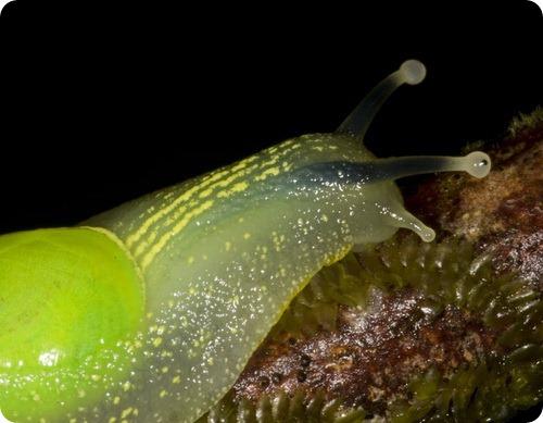 Полуслизень Gaeotis flavolineata