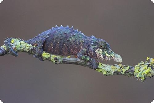 Рамфолеон Rhampholeon spinosum