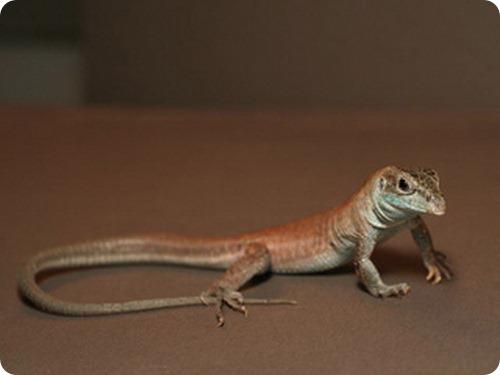 Учёные вывели полностью женский вид ящериц