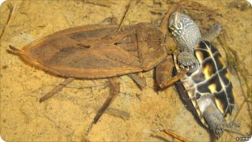 Гигантские хищные клопы поедают черепах