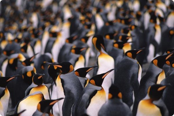 У пингвинов есть свои секреты