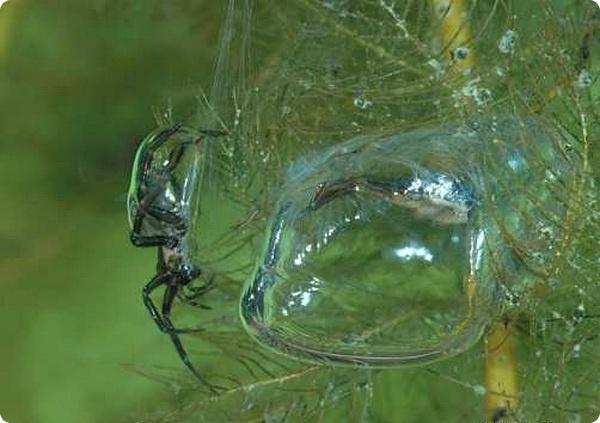 Как под водой дышит паук-серебрянка?