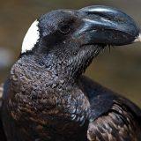 Бронзовая ворона