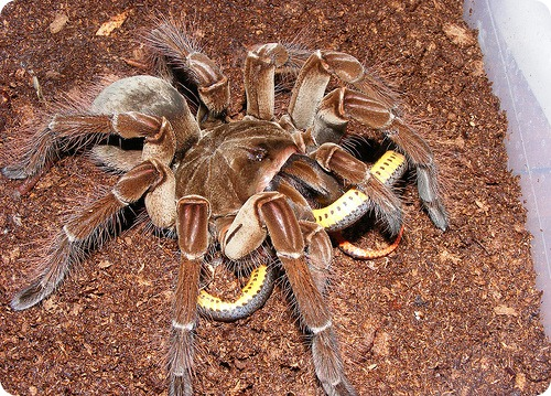 South american goliath bird eating spider