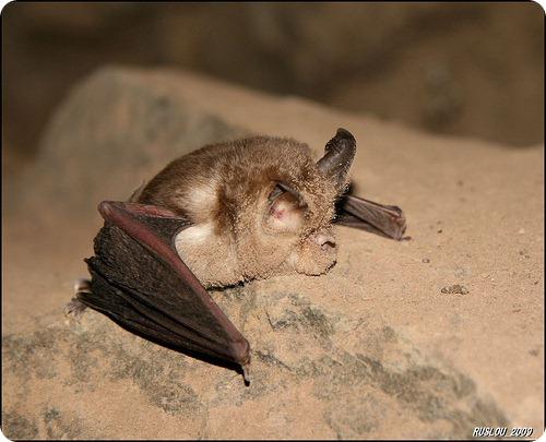 Летучие мыши меряют скорость полета микроволосками